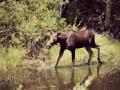 moose-final