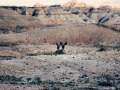 mule-deer-at-badlands-final