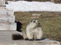 marmot2