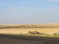 bighorn-sheep-3