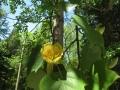 Tulip Tree Knobstone Trail