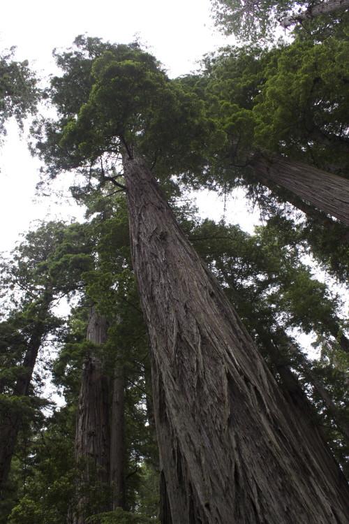 Redwood SNP 1