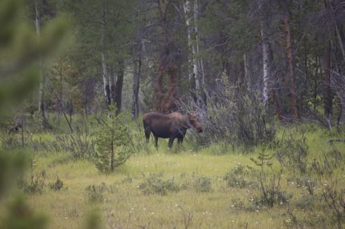 moose humming john denver