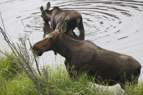 more moose