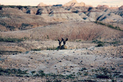 mule deer at badlands final