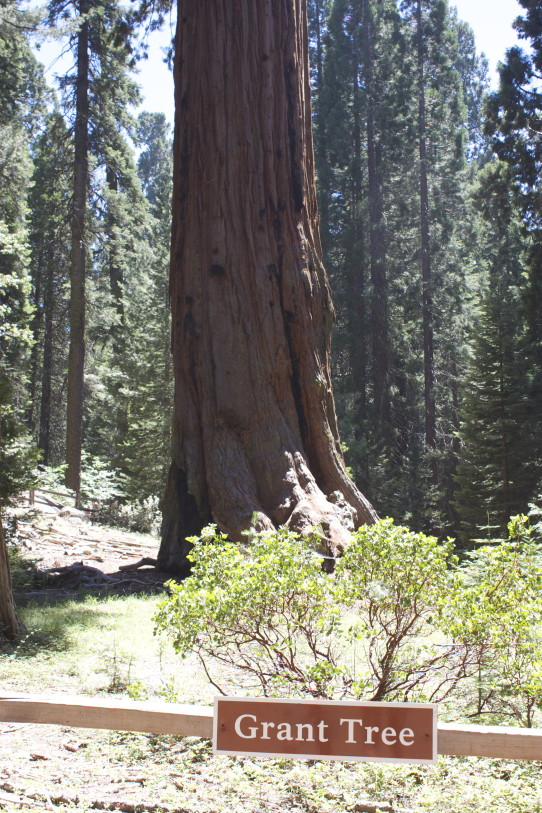 Grant Tree Giant Sequoia