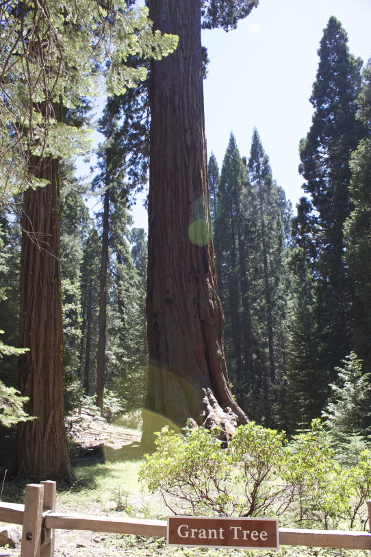 Grant Tree Sequoia