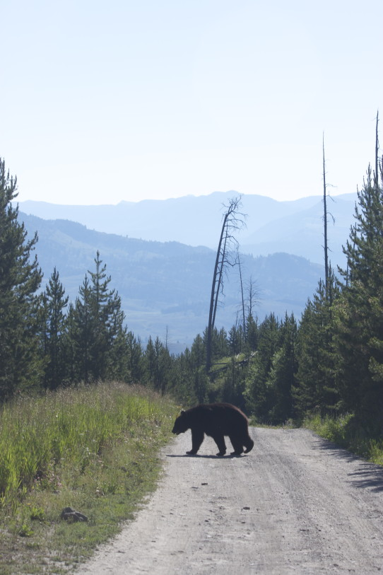 Black Bear Yellowstone