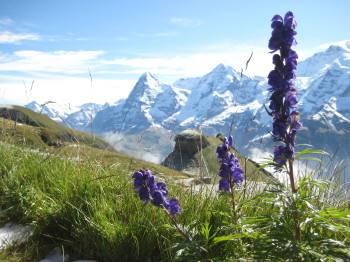 Wildflowers in Swiss Alps